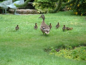 Wild Ducks nesting in the walled garden